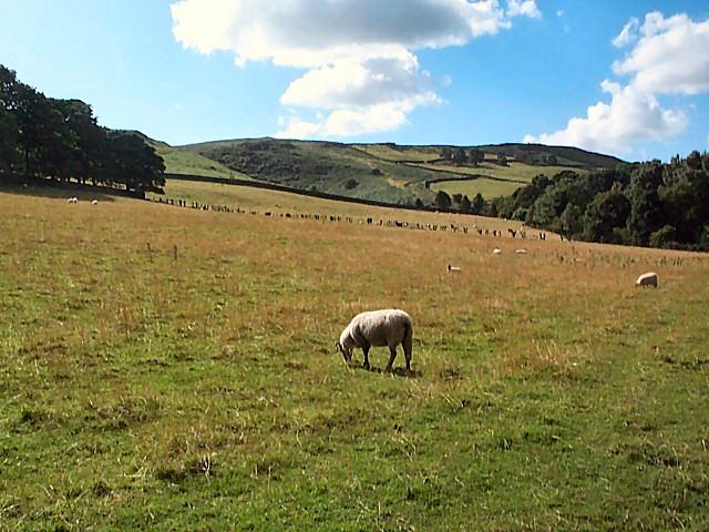 Sheep below Barks Crag