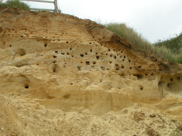 Sandmartins at Thorpeness, Suffolk
