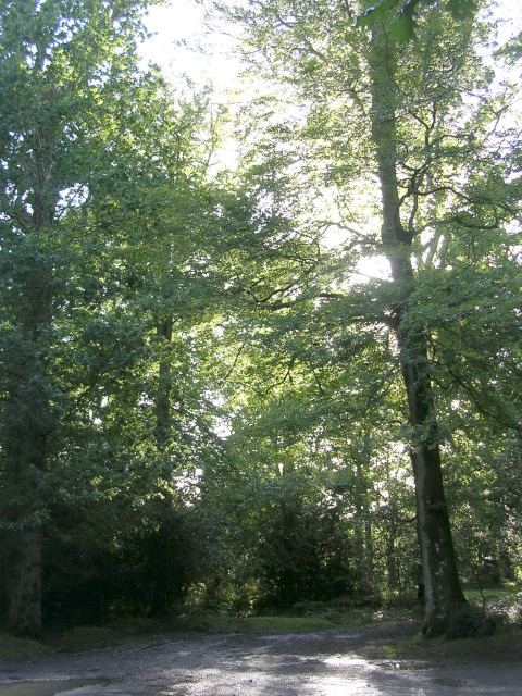 Beech trees in Ivy Wood, New Forest