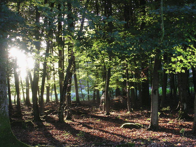 Beech woodland before sunset, Stubby Copse Inclosure, New Forest