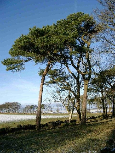 Scots Pines in winter
