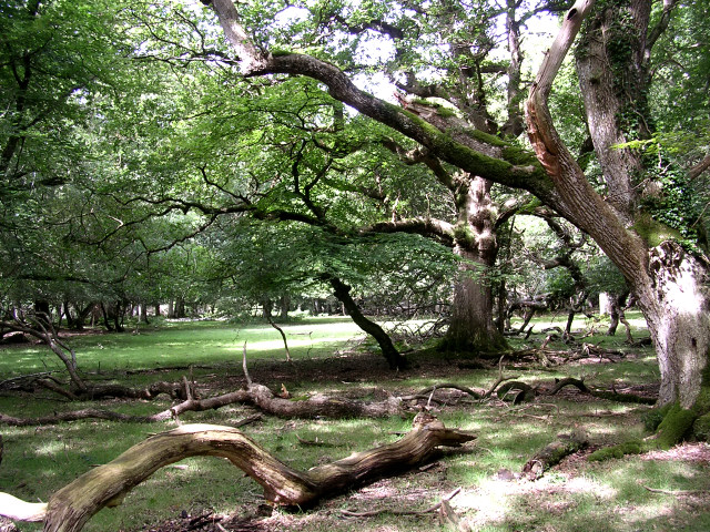 Mature oaks in Whitley Wood, New Forest