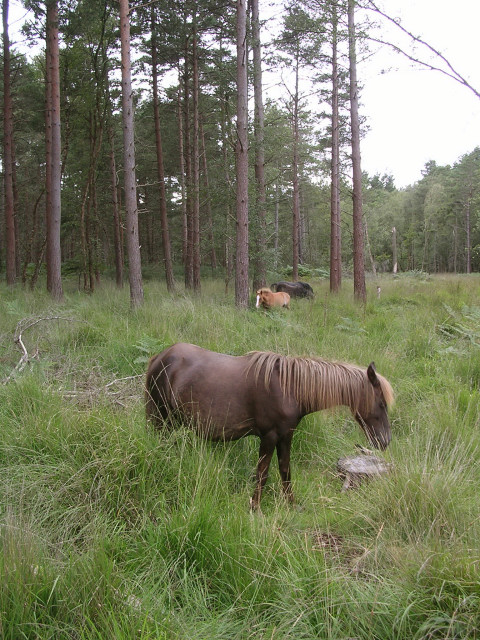 Ponies grazing in the Hawkhill Inclosure, New Forest