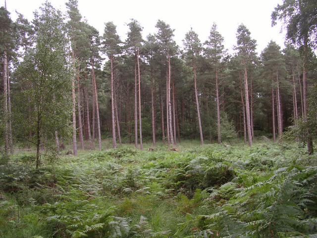 Coniferous trees in the Hawkhill Inclosure, New Forest