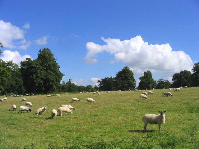 Grazing Sheep at Hemp Green near Sibton, Suffolk