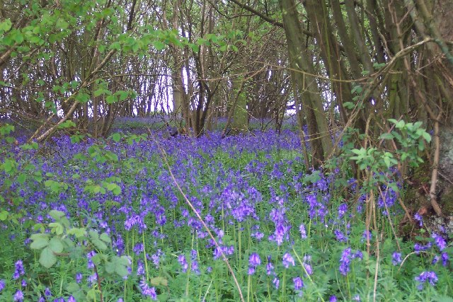 Bluebell copse