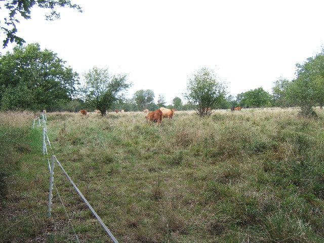 Cattle grazing on Epsom Common