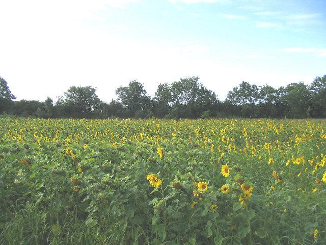 Sunflowers, near Hoo Green, Suffolk