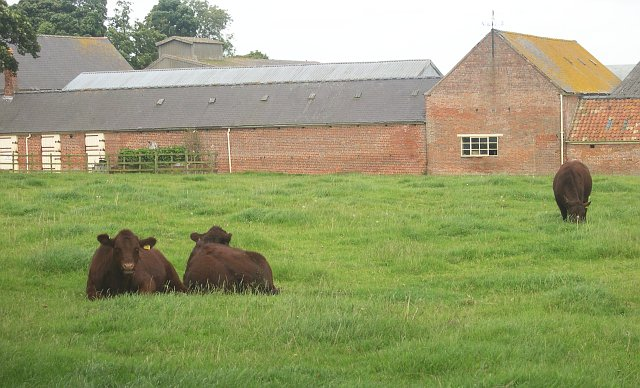 Lincoln Red cattle at Ranby Grange