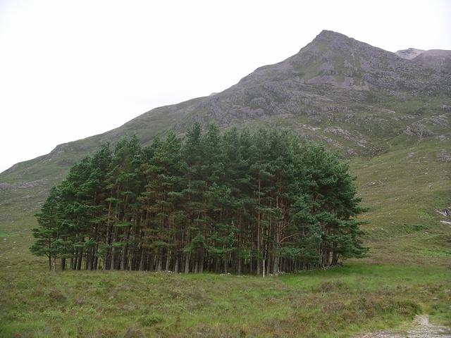 Scots pines, Allt Coire an Laoigh