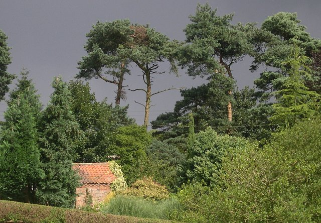 Pine trees against a stormy sky: Salmonby