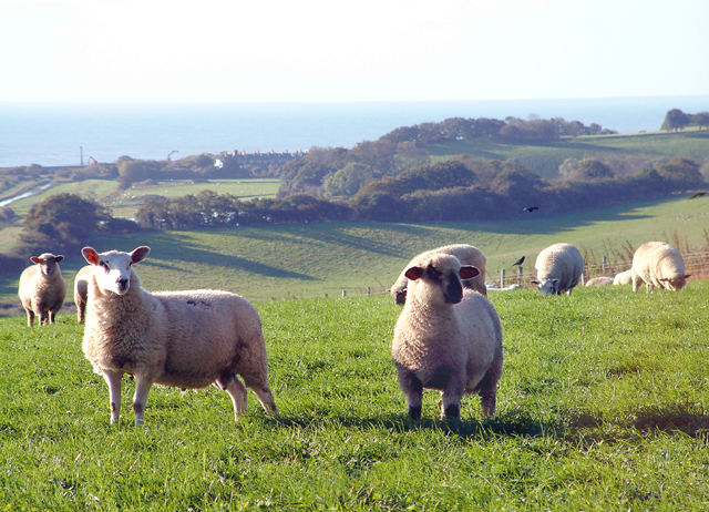 Sheep on Hogg Hill.
