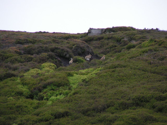 Mountain Hares and Grouse Butt, Far Black Clough