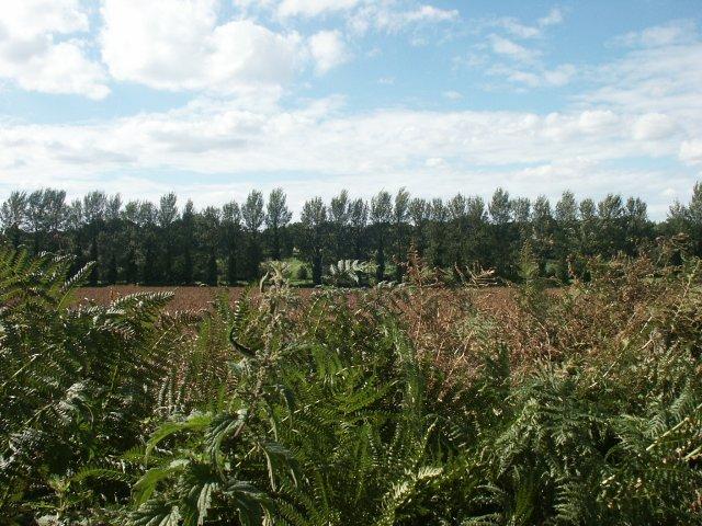 Poplars, Intwood