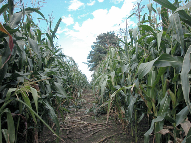 Tiptoe through the Maize