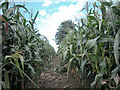 SJ3769 : Tiptoe through the Maize by Dennis Turner