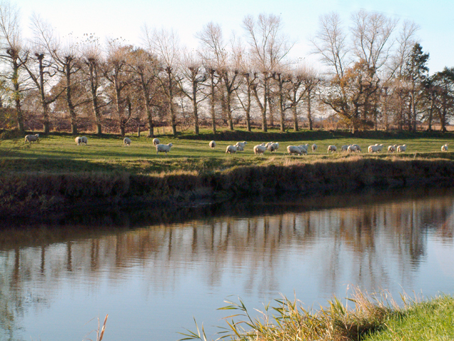River Rother with sheep and pollarded willows