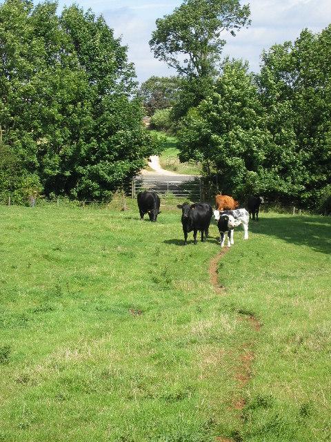 Friendly cows near Uppingham