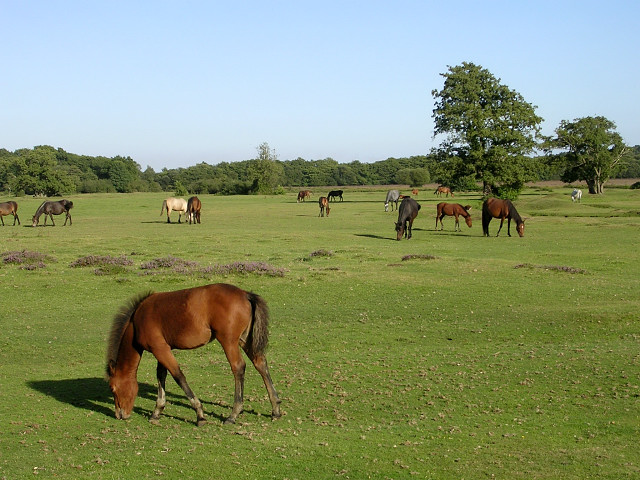 Ponies grazing on Longwater Lawn, New Forest