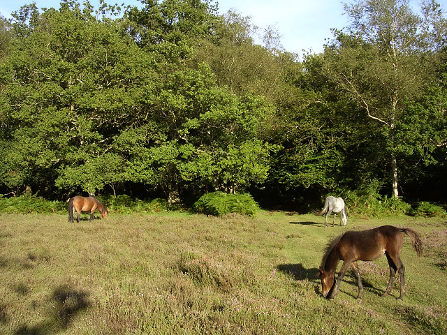 Ponies grazing on the edge of Mallard Wood, New Forest