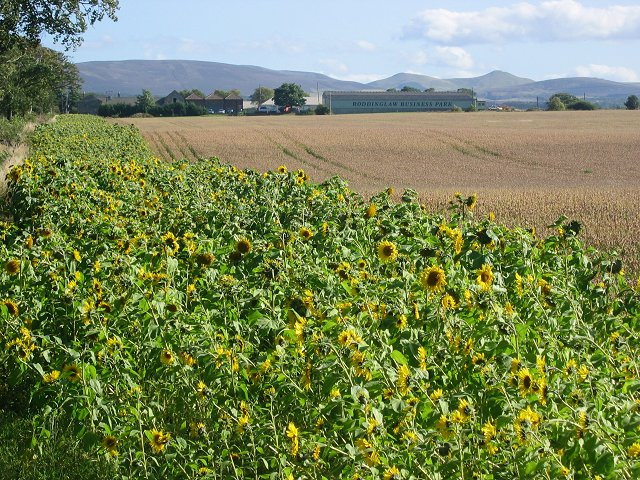 Sunflowers, Gogar.