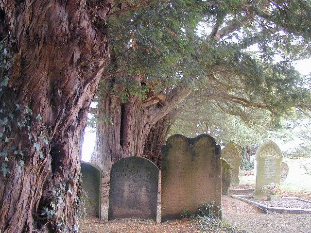 Kenley churchyard and yews
