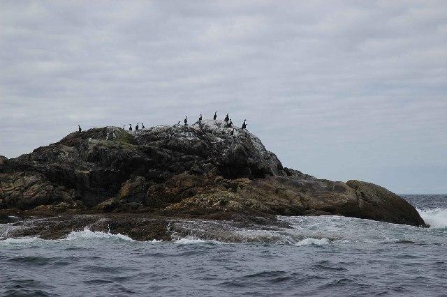 Seabirds on Glas Eilean