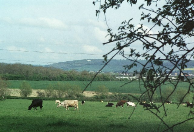 Cows grazing by Brokerswood Country Park