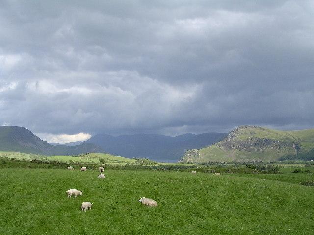 Field of sheep at Kirkland