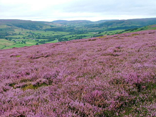 Heather Moorland, Laskill Pasture Moor