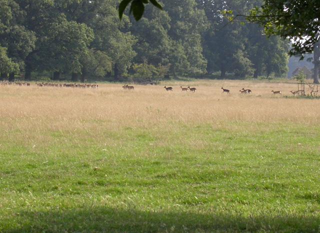 Fallow Herd