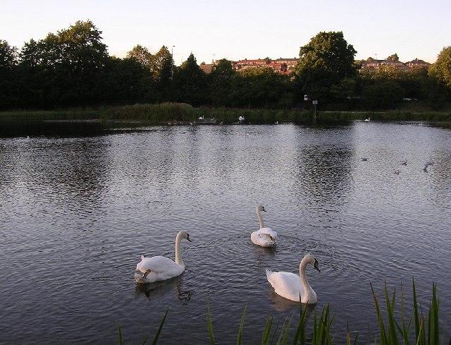 Trio of Swans