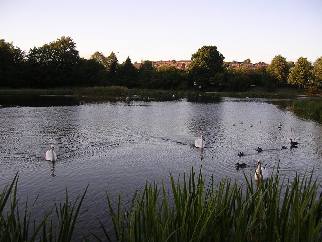 Swans on Bingham's Pond