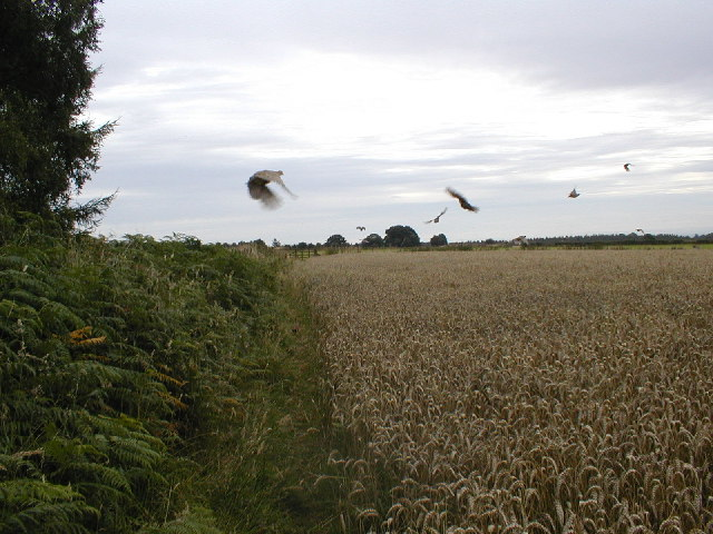 Disturbed Pheasants