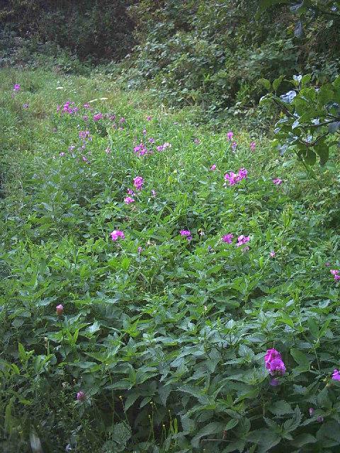 Wild flowers and nettles, Wilderness Island Nature Reserve, Hackbridge.