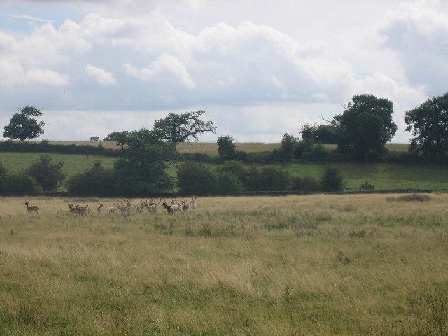 Deer grazing at Bradgate Park