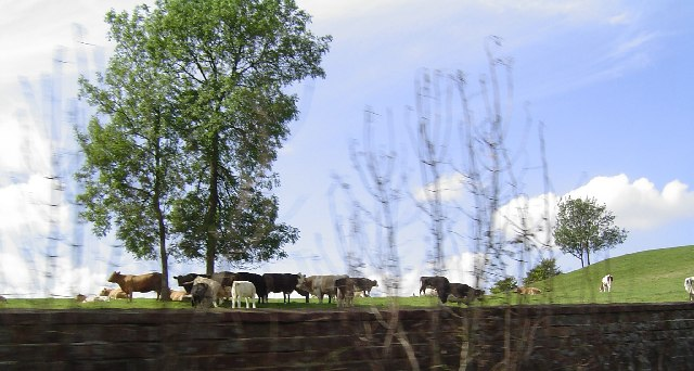 Cows in Eastwell Park