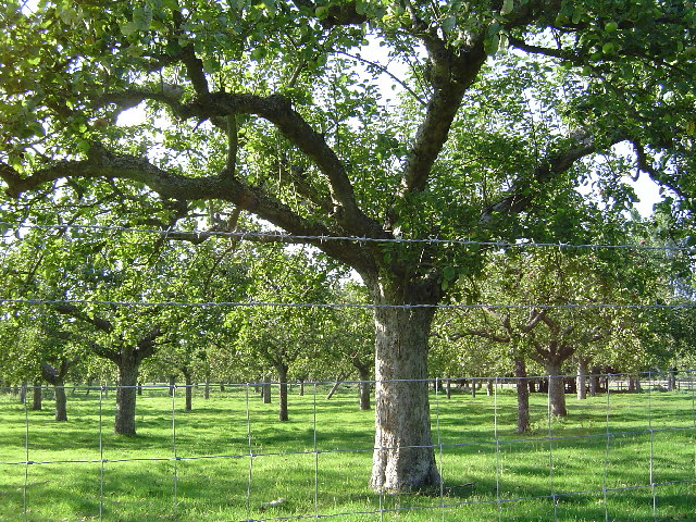 Orchard on the North Downs way