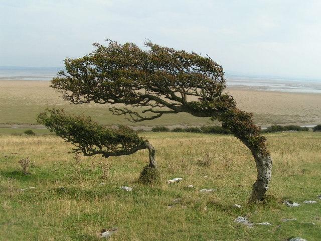 Windblown trees, Humphrey Head