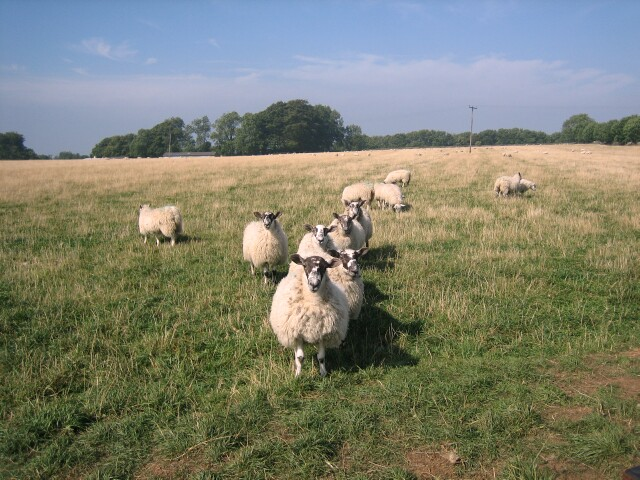 Sheep grazing at Shenberrow