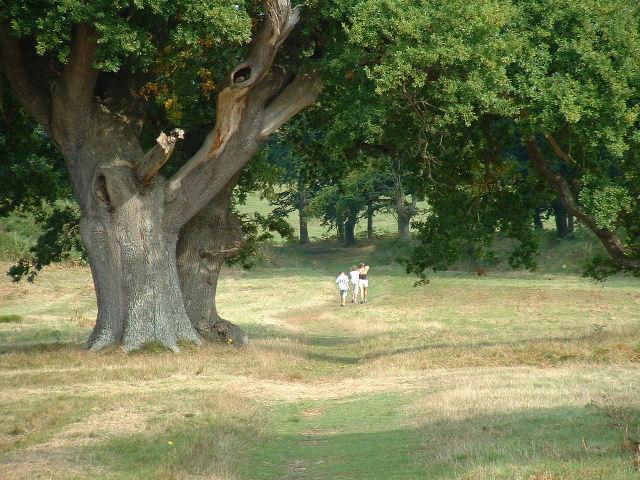 Parham Oak