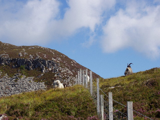 Fence and Wild Goats on slopes of Creag Dhubh
