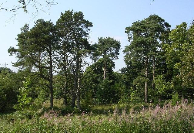 Pine Trees at Auchnacraig