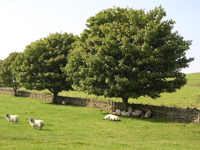 Sheep hiding under a tree