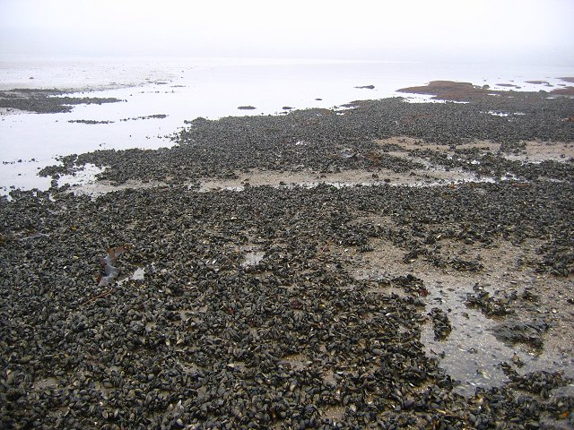 Mussel beds, Eastern Craigs.