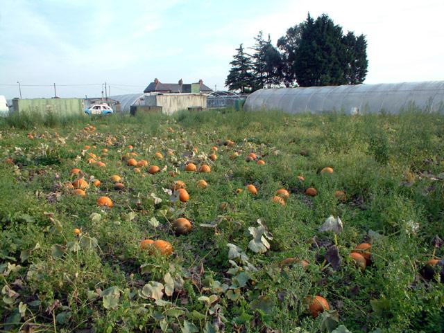 Pumpkin patch by Oaks Track SM6