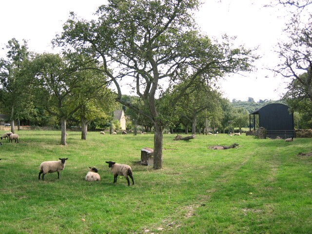 Sheep grazing in Wood Stanway