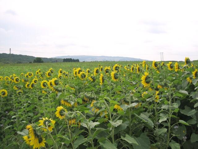Sunflowers near Defford
