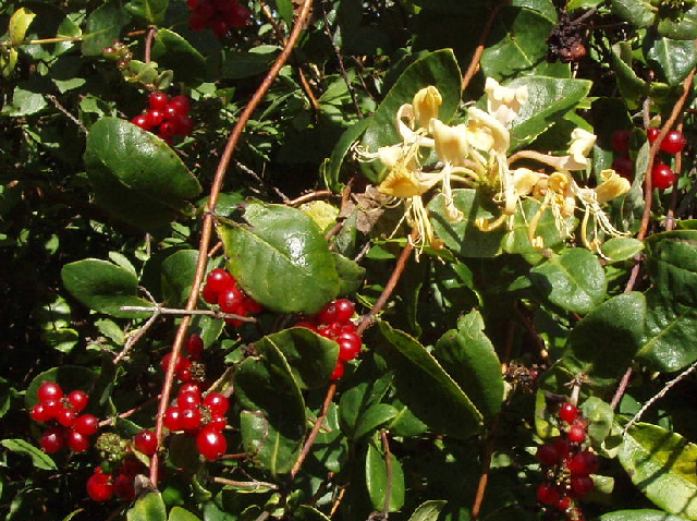 Honeysuckle and berries