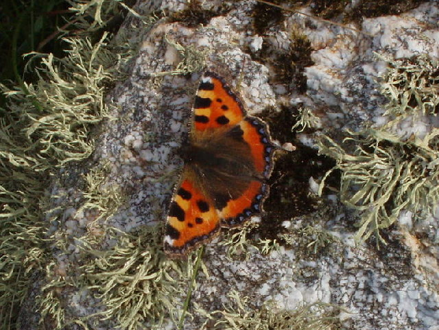 Small Tortoiseshell butterfly near Bedruthan Steps